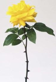 roos met dornen